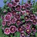 Echinacea purpurea, Purpur solhat