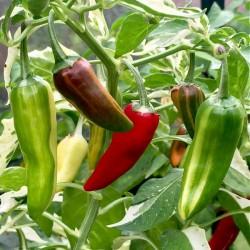 Chilipeber 'Hot Rod'
