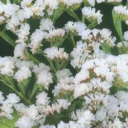 Limonium sinuatum 'White',...