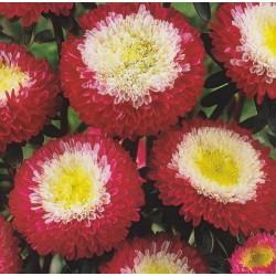 Dianthus deltoides 'Erectus', Maiden Pink
