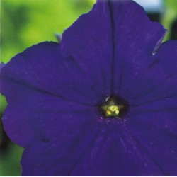 Petunia grandiflora 'Dark...
