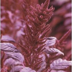 Amaranthus cruentus 'Velvet...