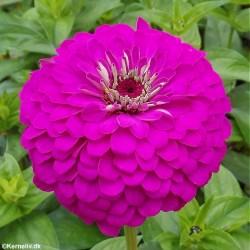 Zinnia elegans 'Violet Queen'