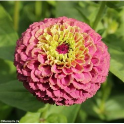 Zinnia elegans 'Queen Red...