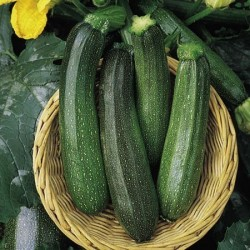 Courgette 'Green Bush F1'