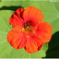 Tropaeolum majus 'Mixture',...