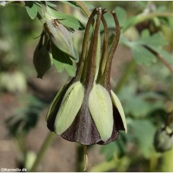Aquilegia viridiflora...