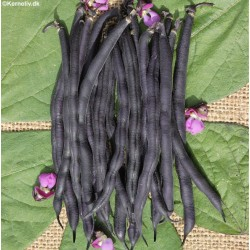 Dwarf French Bean 'Purple...