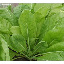 Komatsuna, Brassica rapa...