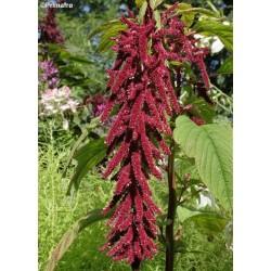 Amaranthus caudatus,...