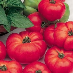 Tomat 'Marmande', Økologisk