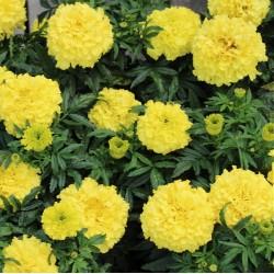 Petunia x hybrida pendula 'Bicola F2'