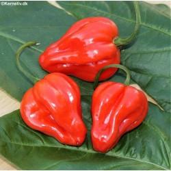 Chili Pepper 'Scotch bonnet'