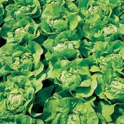 Lettuce, Butterhead 'Zwart...