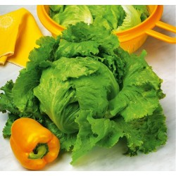 Lettuce, Iceberg 'Saladin'