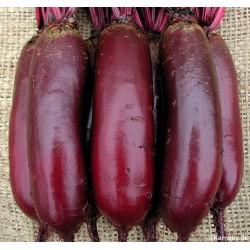 Rødbede 'Cylindra', Økologisk