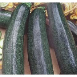 Squash/Courgetter 'Verte Noire Maraîchère'