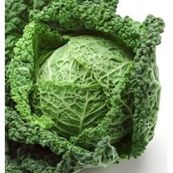 Cabbage, Savoy 'Vertus 2',...