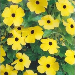 Thunbergia alata 'Yellow',...