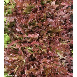 Pluksalat 'Red salad bowl',...