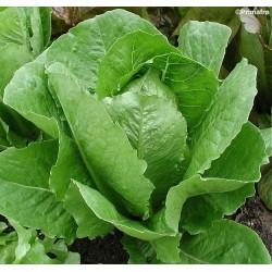 Lettuce, Cos 'Parris island'