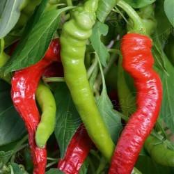 Chili Pepper 'Westlandse...
