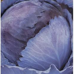 Cobaea scandens 'Alba', Klokkeranke