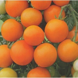 Cherry Tomato 'Figiel'