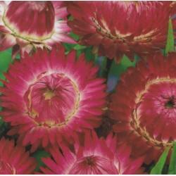 Helichrysum bracteatum...