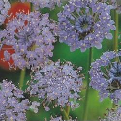 Didiscus caeruleus 'Blue...
