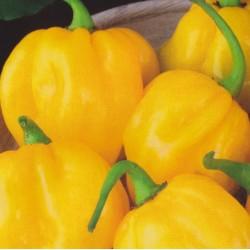 Chili Pepper 'Habanero Lemon'