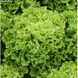 Lettuce, Picking 'Lollo...
