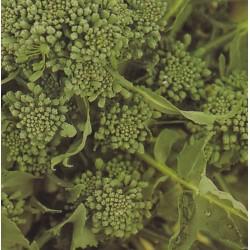 Broccoli 'Riccio de Sarno'