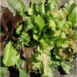 Lettuce Mix 'Misticanza'