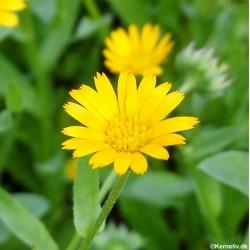 Calendula arvensis, Field...