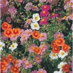 Helianthemum mutabile...