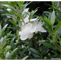 Myrtus communis, Myrte