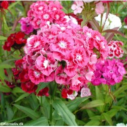 Dianthus barbatus 'Cottage...