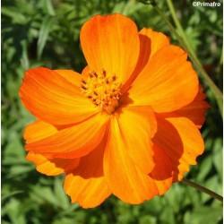 Cosmos sulphureus 'Orange',...