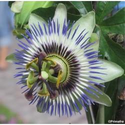 Passiflora caerulea, Blue...
