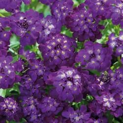 Gulerod 'Purple Sun / Crème de Lite'
