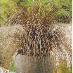 Carex comans 'Bronze', Star