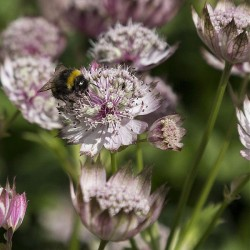 Astrantia major, Great...