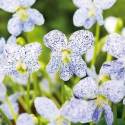 Viola sororia 'Frecles', Viol