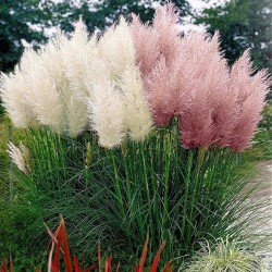 Cortaderia selloana 'Mix',...