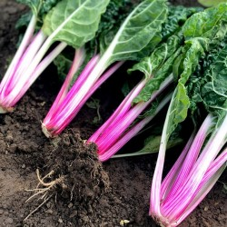 Swiss Chard 'Peppermint'