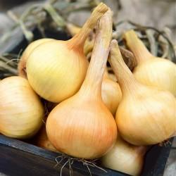 Bulb Onion 'Walla Walla'