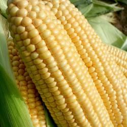 Sweet Corn, Supersweet...