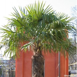 Trachycarpus fortunei,...