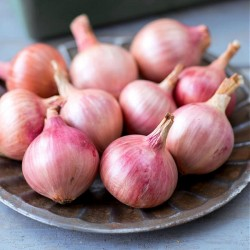 Bulb Onion, Red 'Isobel Rose'